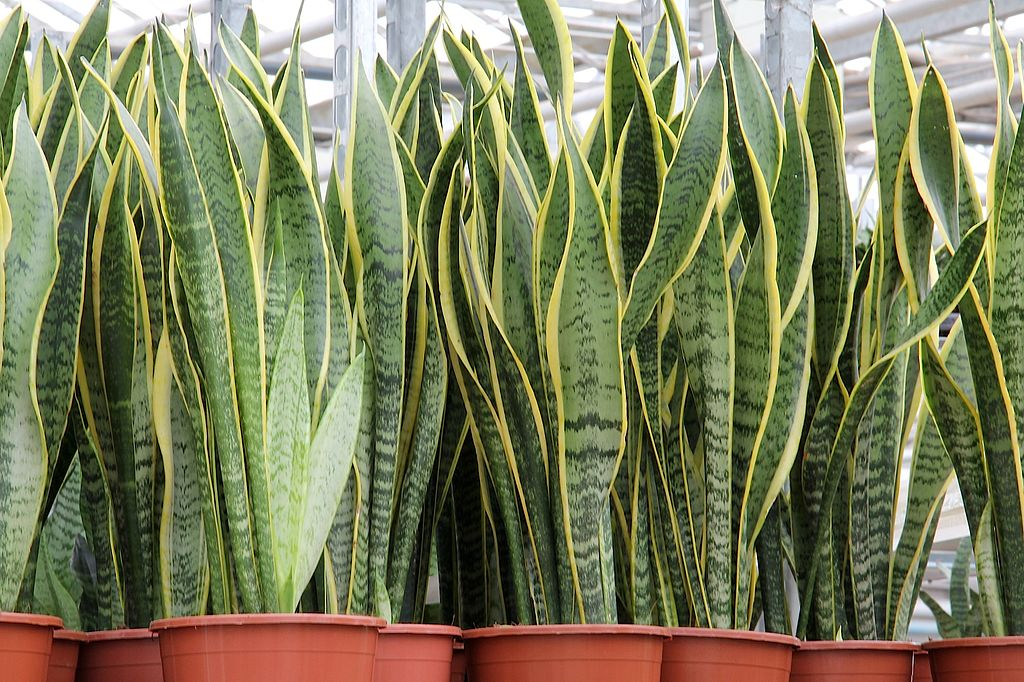 Snake plants in pots outdoors